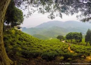 Bharat Tea Plantation, Cameron Highlands.