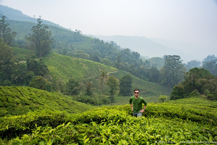 The beautiful BOH Tea Plantation - further out of town but much quieter than the other two.