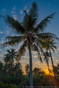 Coconut Palm Tree at Sunset, Alleppey Backwaters, Kerala, India