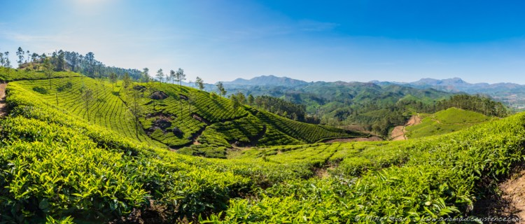 Tea plantations as far as the eye could see.