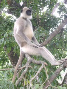 Grey Langur Monkeys - we watched them from the pool at the resort! Image via Wikipedia.
