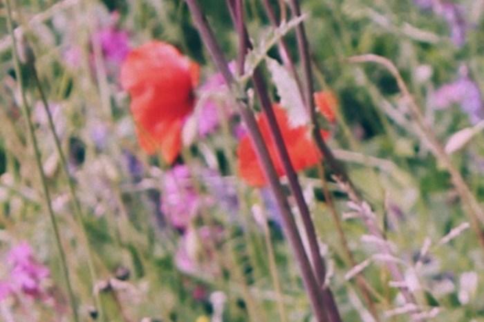 fioripapaveripiccola
