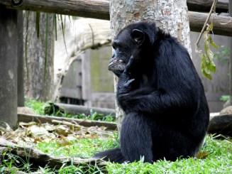 Chimpanzee, Singapore Zoo