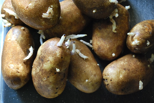 Safe Sprouted Potatoes They Are Eat