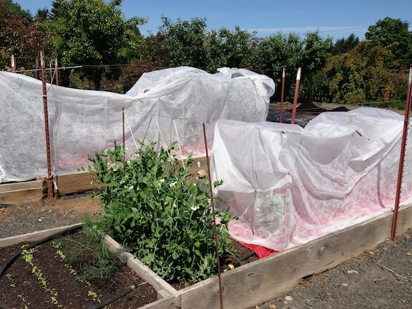 Covered tomatoes 6-13
