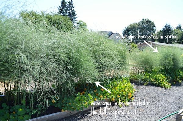 Asparagus beds