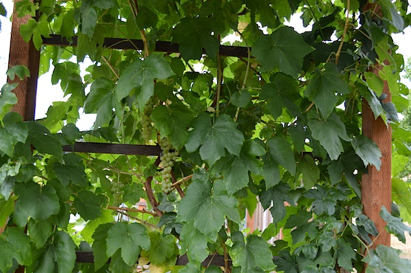 Green Himrod Grapes on Arbor::An Oregon Cottage