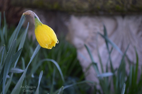 Daffodil Bud - An Oregon Cottage