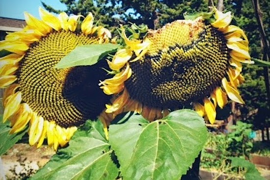 Garden sunflowers via Green Phone Booth