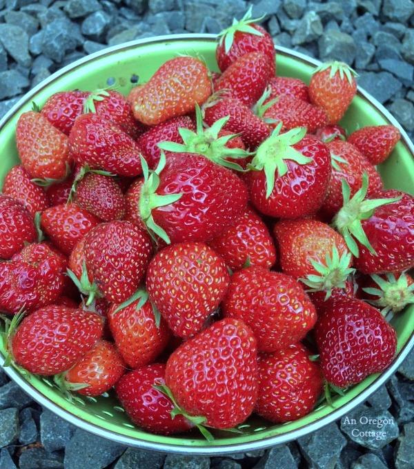 June 1 Strawberry Harvest - An Oregon Cottage