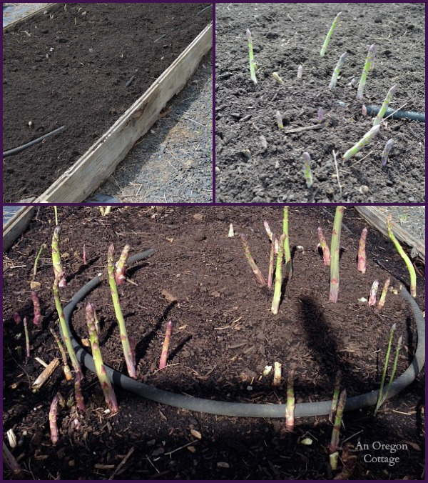 Ultimate Asparagus Guide-Asparagus growing - An Oregon Cottage