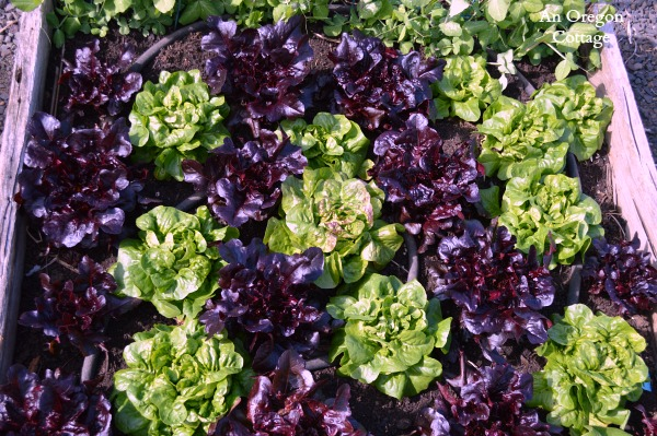 Red and Green Lettuce Bed - An Oregon Cottage