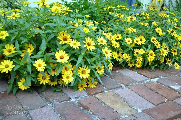 September Yellow Zinnias-An Oregon Cottage