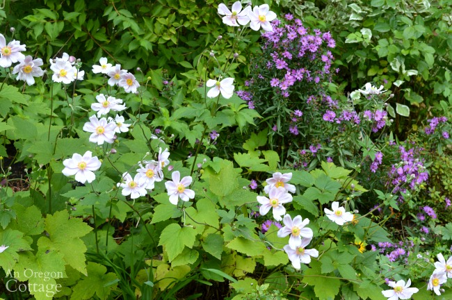 All-time favorite plants-Japanese Anemone and Asters