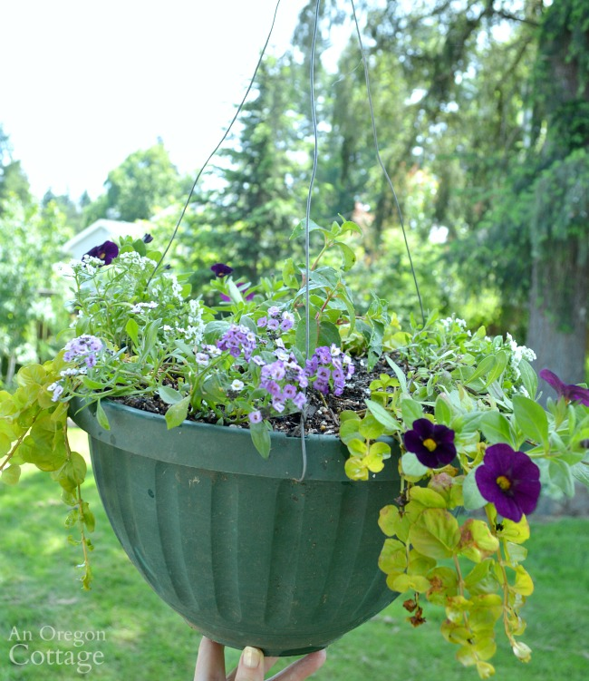 Newly planted hanging basket 5-16