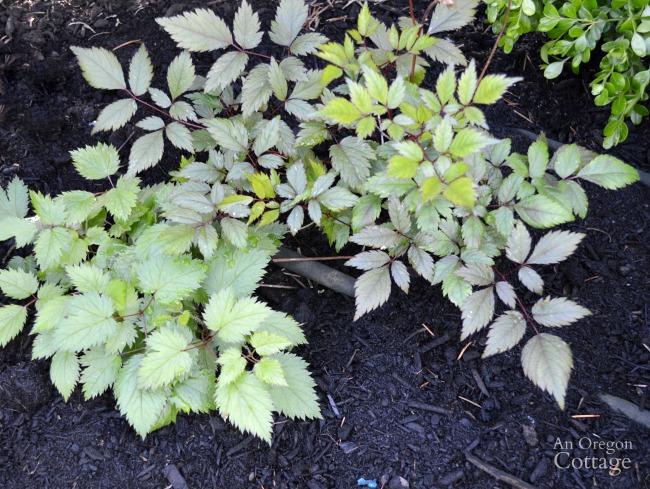 Plants to avoid-Astilbe