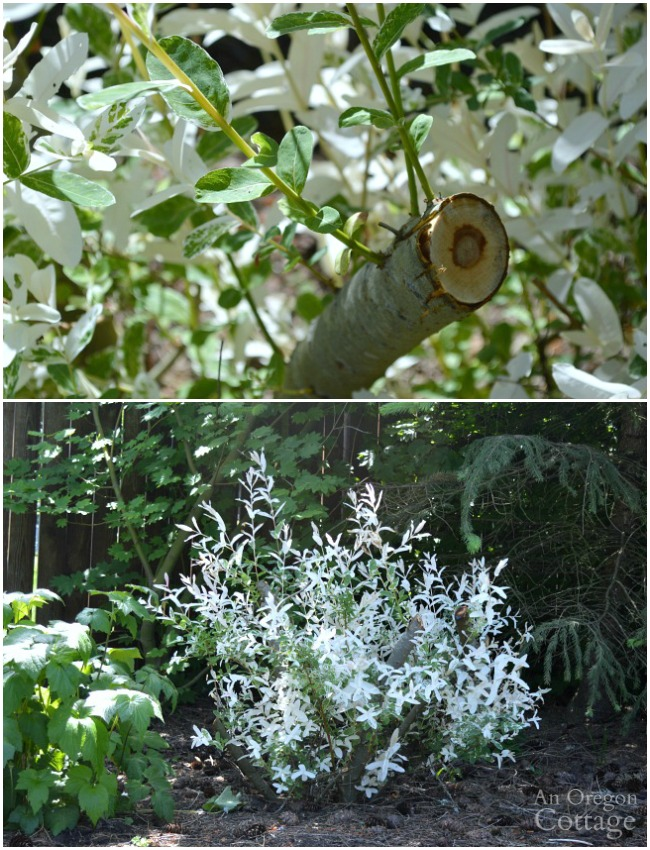 Prune shrubs with confidence-pruned Dappled Willow