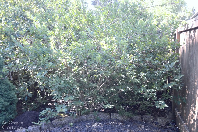 Prune shrubs with confidence-Forsythia before pruning