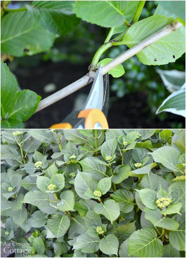 Prune shrubs with confidence-Lacecap Hydrangea