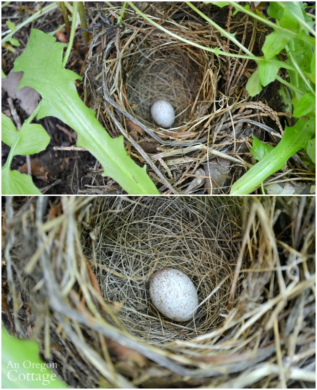 Speckled egg in nest_5-16