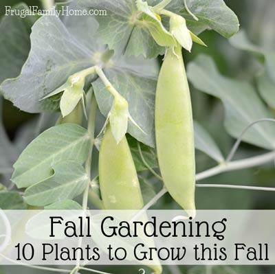 10 plants to grow this fall via Frugal Family Home