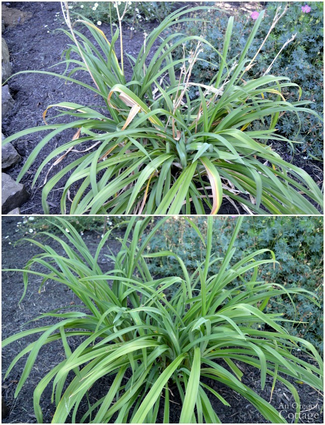 Daylily before and after summer pruning and deadheading