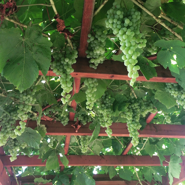 Himrod green grape arbor in August