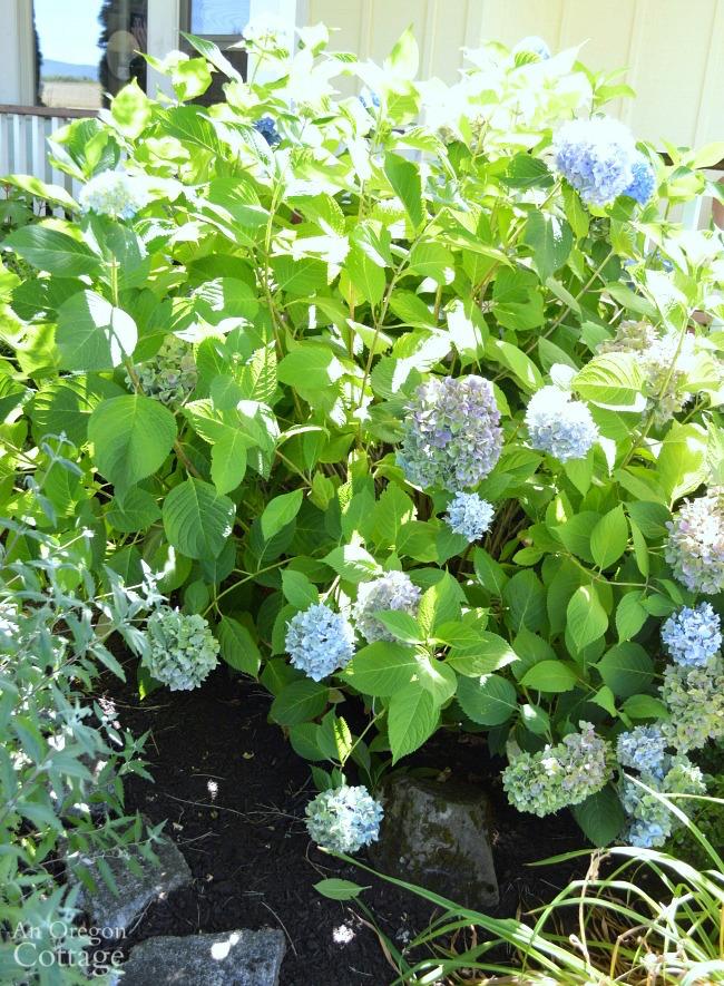 Hydrangea after midsummer pruning