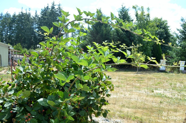 Triple Crown Thornless Blackberry tall vines in summer