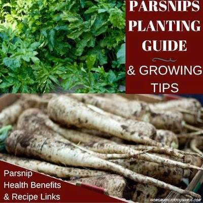 Parsnip Planting Guide-Homemade Food Junkie