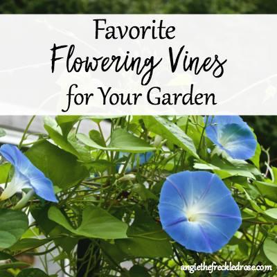 Favorite Flowering Vines at The Freckled Rose