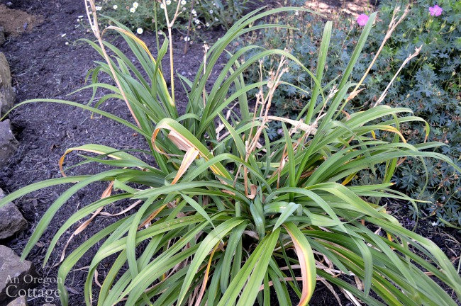 Summer Gardening-deadheading daylily