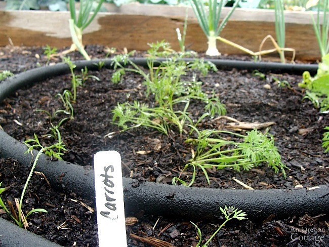 Fall gardening tips-planting carrots and vegetables