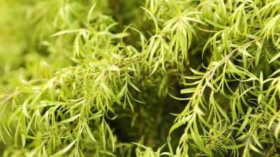 Huile essentiel - Tea Tree