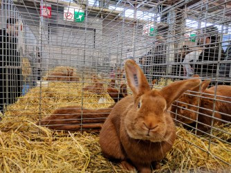 salon-de-lagriculture-lapin-bunny-rabbit