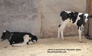 Wordless Wednesday: Calves at Morris Farm in Wiscasset, Maine