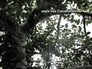 apple tree in Maine
