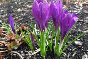 Wordless Wednesday: Blooming Crocus