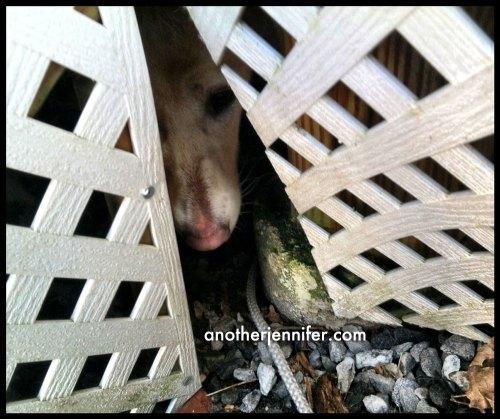 puppy stuck under deck