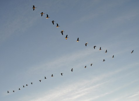 Canada Geese V Formation