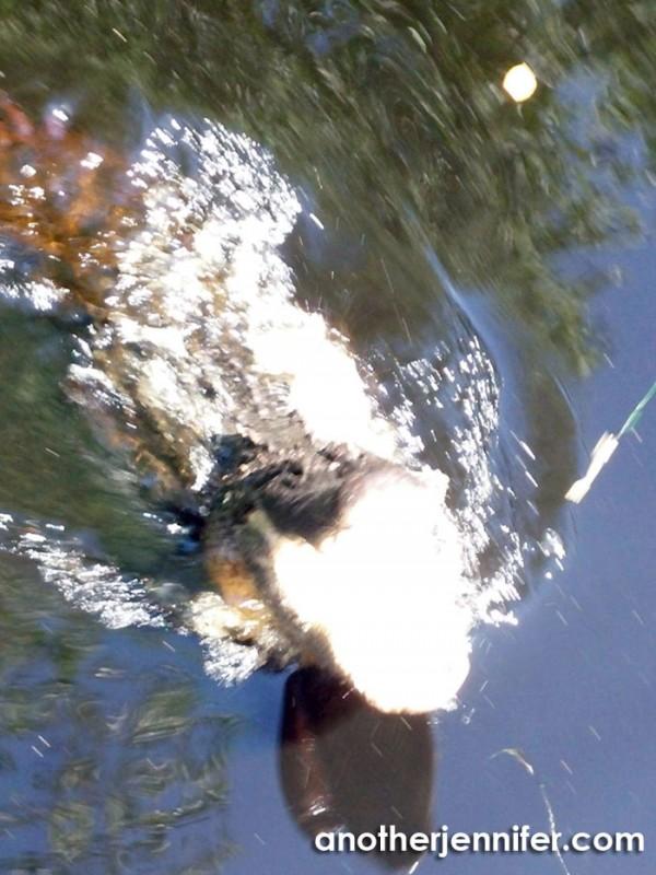 Wordless Wednesday (6.24.15): Biz's Alligator by Matt Barbour