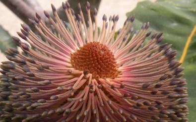 Big Bad Banksia 2