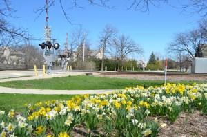 The enchanted daffodils