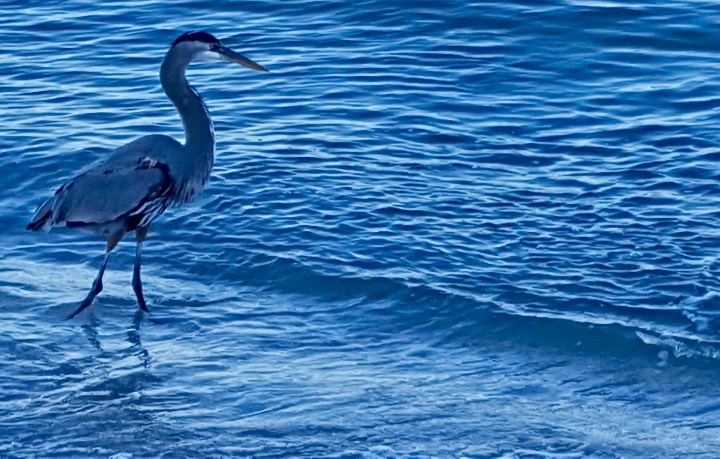 The old egret and the sea