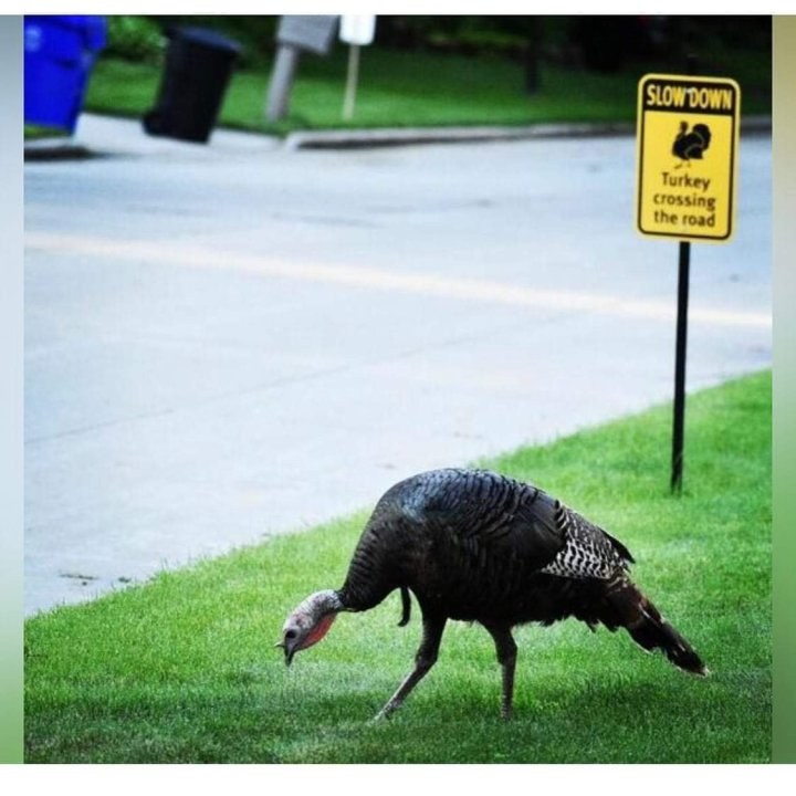 Gerald the turkey and why you should flock downtown this weekend