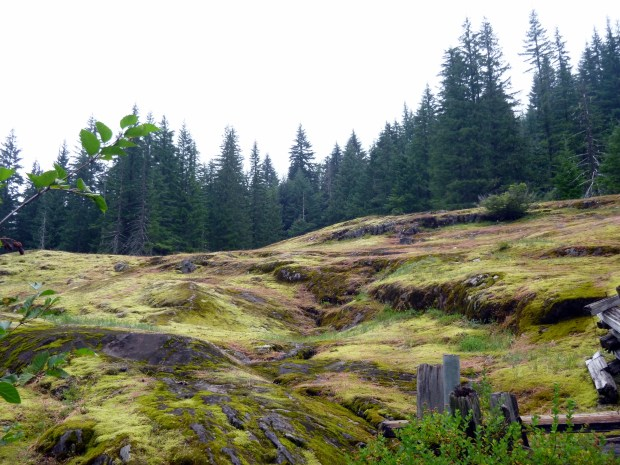 Multiple types of moss growing on lava fields next to Box Canyon, Mount Rainier National Park, WA