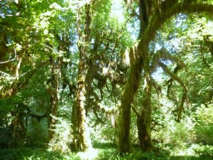 Hoh Rainforest with spikemoss on trees, Olympic National Park
