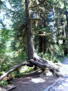 Extreme elevated root system, Spruce Nature Trail, Hoh Rainforest, Olympic National Park