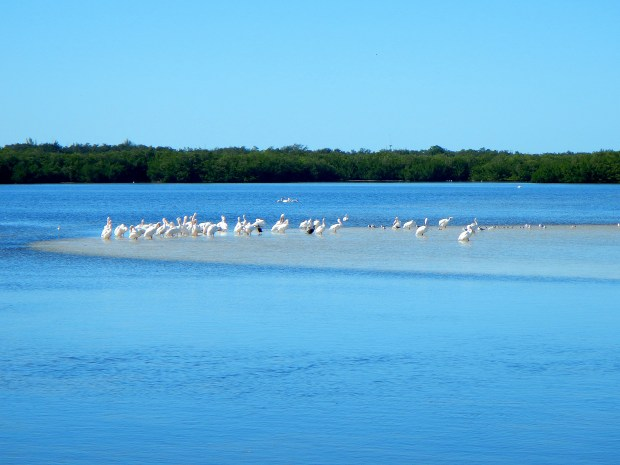 "American White Pelicans (with 9-foot wingspans!), J.N. ""Ding"" Darling National Wildlife Refuge, Sanibel Island, Florida"