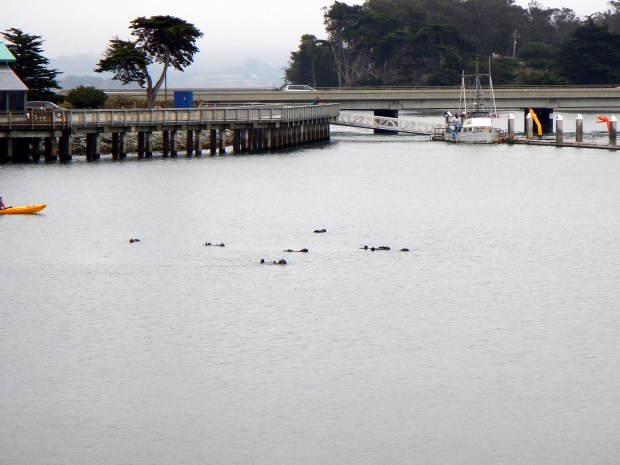 Otters, Moss Landing State Wildlife Area, California